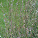 Image of little bluestem