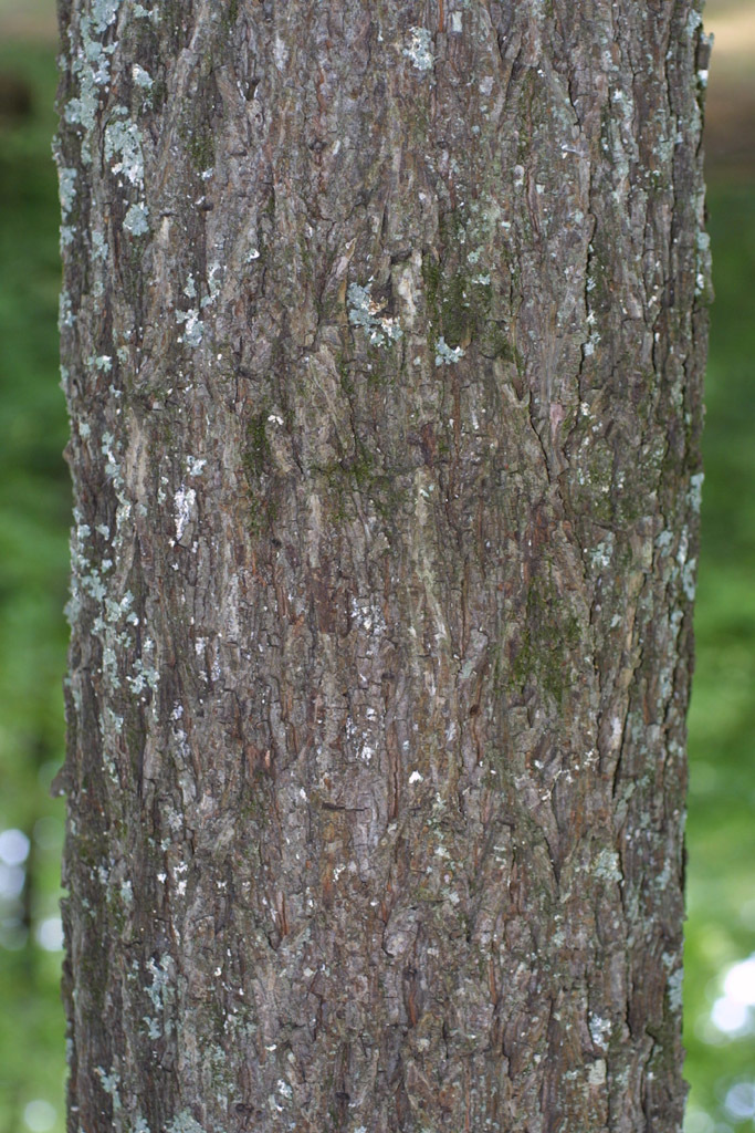 Image of sand hickory