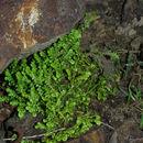 607.http   bioimages vanderbilt edu baskauf 39667.130x130