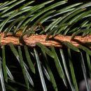 Image of Sitka Spruce