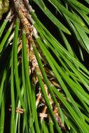 Image of Bolander Beach Pine
