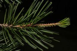 Image of Mexican pinyon