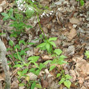 Image of largeflower valerian