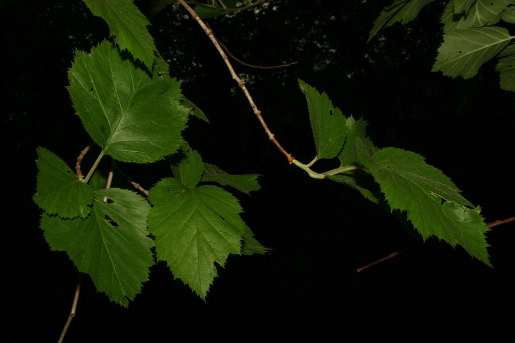 Image of downy hawthorn