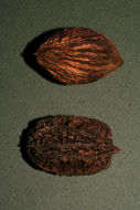 Image of Butternut Tree