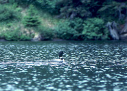 Image of Common loon