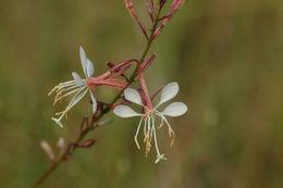 Image of slenderstalk beeblossom