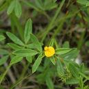 Image of sidebeak pencilflower