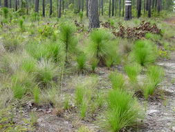 Image of Florida Pine
