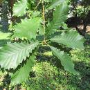 Image of Swamp Chestnut Oak