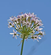 Image of meadow garlic