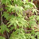 Image of American climbing fern