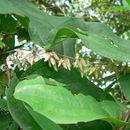 Image of <i>Dioscorea quartiniana</i> A. Rich.