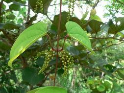 Image of <i>Dioscorea schimperiana</i> Hochst. ex Kunth