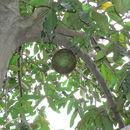Image of African breadfruit