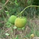 Image of <i>Adenia gummifera</i> (Harv.) Harms