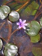 Image of <i>Eichhornia natans</i> (P. Beauv.) Solms