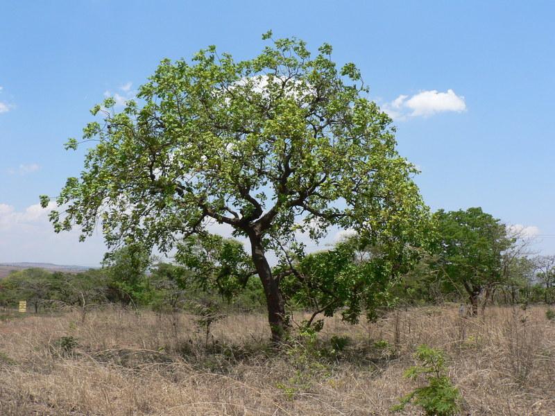 صورة <i>Zanha africana</i> (Radlk.) Exell