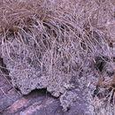 Image of <i>Afrotrilepis pilosa</i> (Boeckeler) J. Raynal