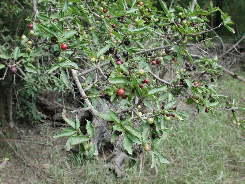 Image of <i>Feretia apodanthera</i> Delile