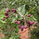 Image of <i>Maranthes polyandra</i> (Benth.) Prance
