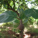 Image of <i>Nauclea latifolia</i> Sm.