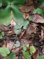 Image of <i>Nervilia adolphi</i> Schltr.
