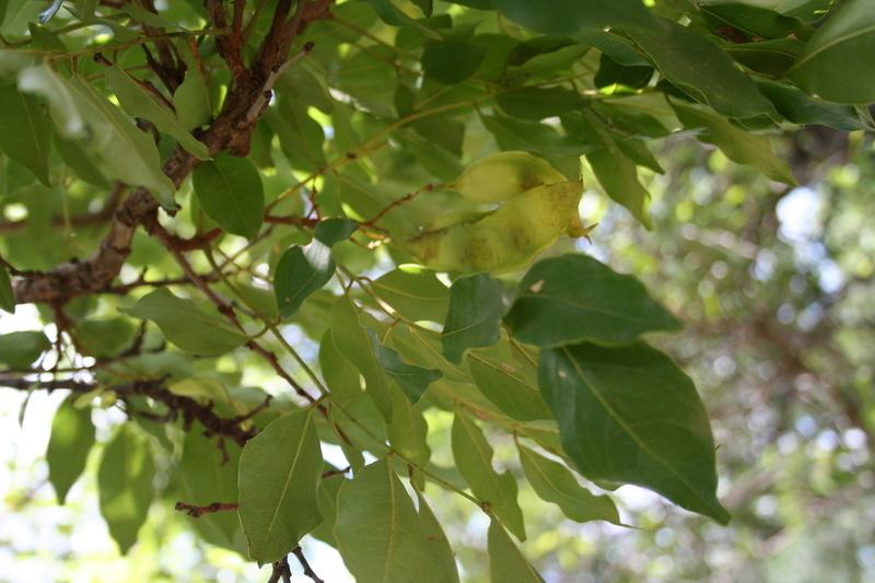 Image of <i>Pericopsis laxiflora</i> (Baker) Meeuwen