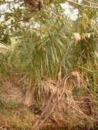 Image of <i>Raphia mambillensis</i> Otedoh