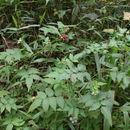 Image of <i>Rubus pinnatus</i> Willd.