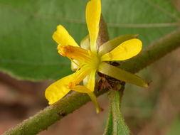 Image of <i>Triumfetta lepidota</i> K. Schum.