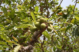 Image of Shea Butter Tree