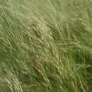 Image of <i>Loudetiopsis kerstingii</i> (Pilg.) Conert