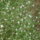 Image of <i>Spermacoce filifolia</i>