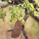 Image of <i>Acacia gourmaensis</i> A. Chev.