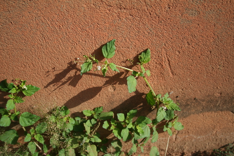 Image of erect spiderling
