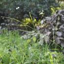 Image of <i>Acroceras zizanioides</i> (Kunth) Dandy