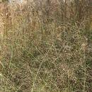 Image of <i>Panicum pansum</i> Rendle