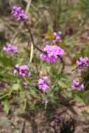 Image of purple witchweed