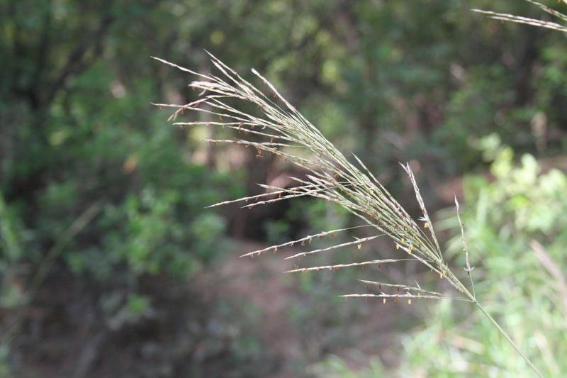 Image of Adrenaline grass