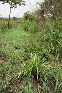 Image of <i>Albuca abyssinica</i> Jacq.