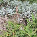 Image of <i>Persicaria senegalensis</i> (Meisn.) Soják