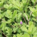 Image of <i>Herderia truncata</i> Cass.