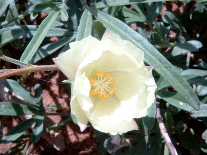 Image of <i>Cienfuegosia digitata</i> Cav.