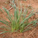 Image of <i>Pancratium trianthum</i> Herb.