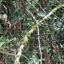 Image of <i>Drypetes floribunda</i> (Müll. Arg.) Hutch.