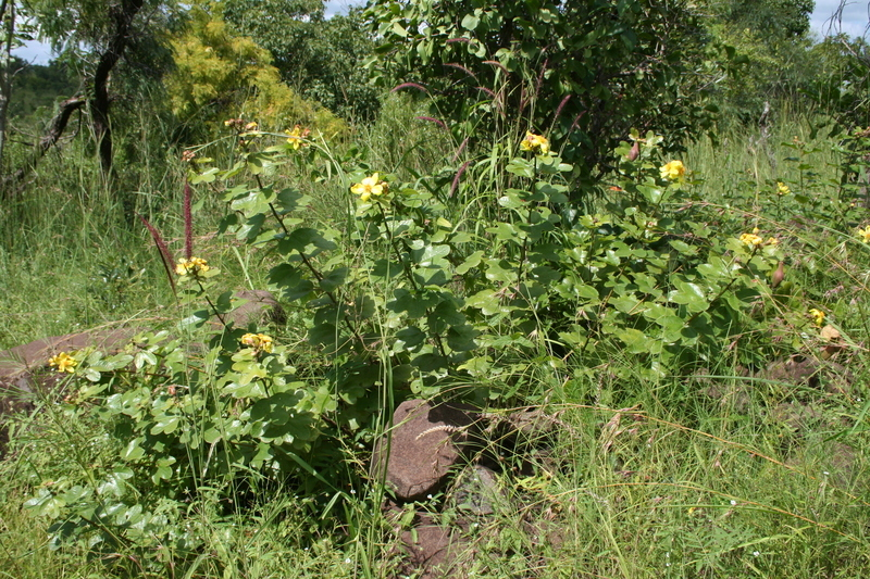 Image of <i>Cochlospermum planchonii</i> Hook. fil. ex Planch.