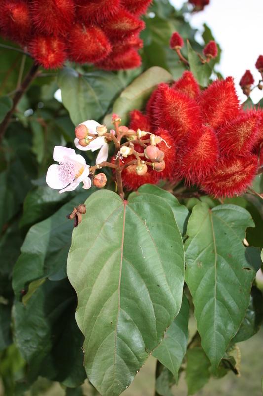 Image of <i>Bixa orellana</i> L.