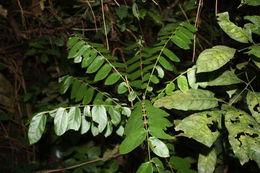 Image of <i>Cnestis ferruginea</i> DC.