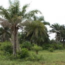 Image of African oil palm
